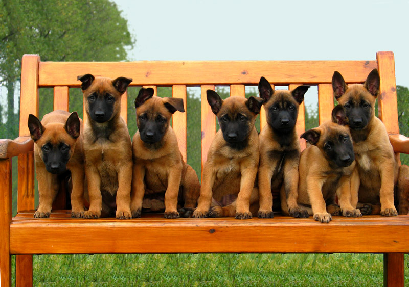 Dog Center Bergerland Nordkirchen - Malinois Welpen